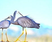 Alan_Lymbery_White_faced_herons_courting_2018-gallery3283_Sep10124518.jpg image